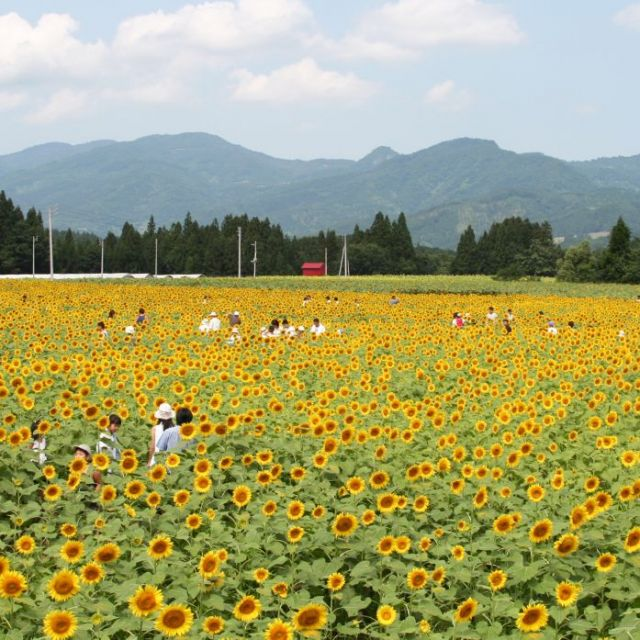 Tsunan Sunflower Field